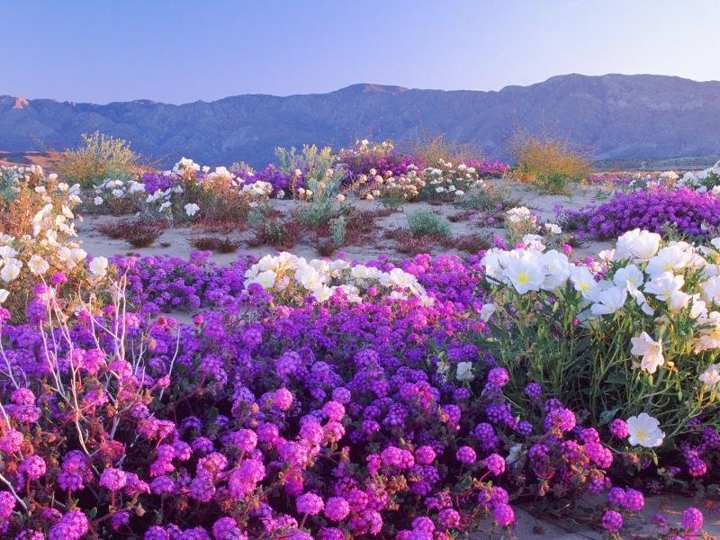 flowers desert california Nature Deserts HD Desktop Wallpaper 800x600