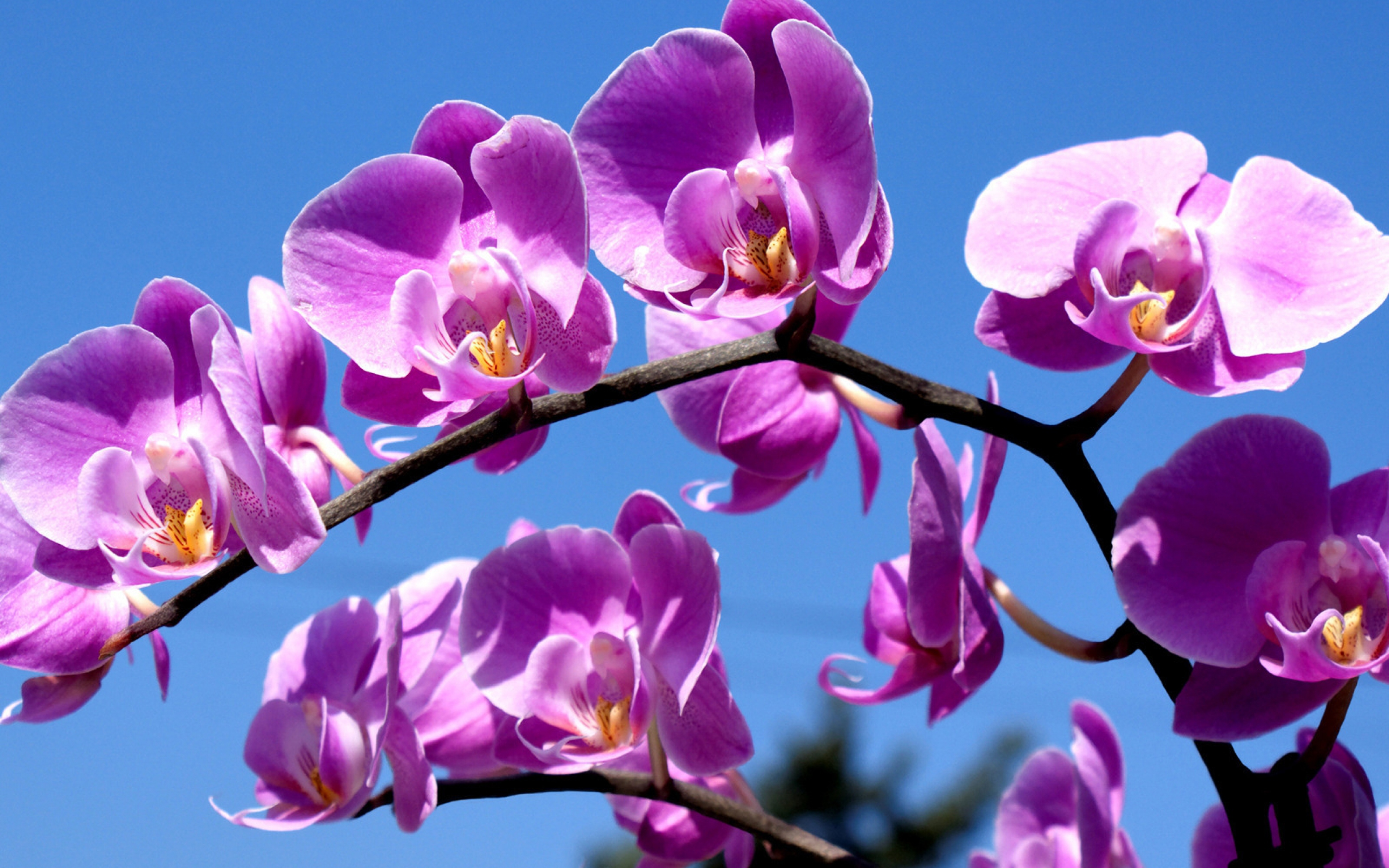orchid flower hd wallpapers  all about orchid and tulip flowers, Natural flower