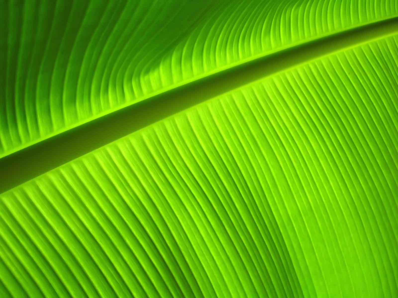 download Banana Leaf Close Up wallpaper 1600x1200