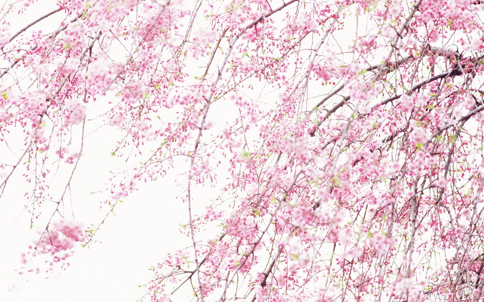 Nature Pink Wallpaper 1680x1050 Nature Pink Sakura 1680x1050