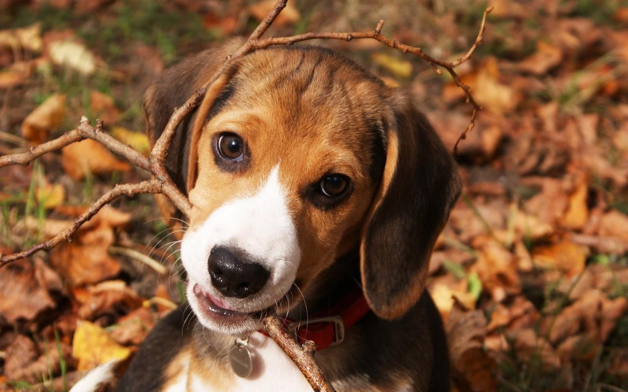 Beagle puppy wallpaper 9945 1280x800