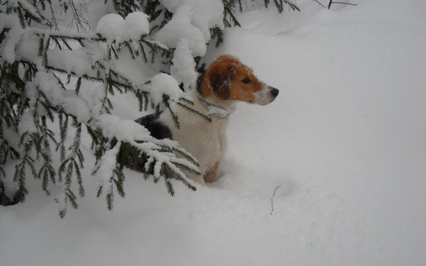 winter season snow animals dogs pets 2560x1600 wallpaper Dogs 600x375
