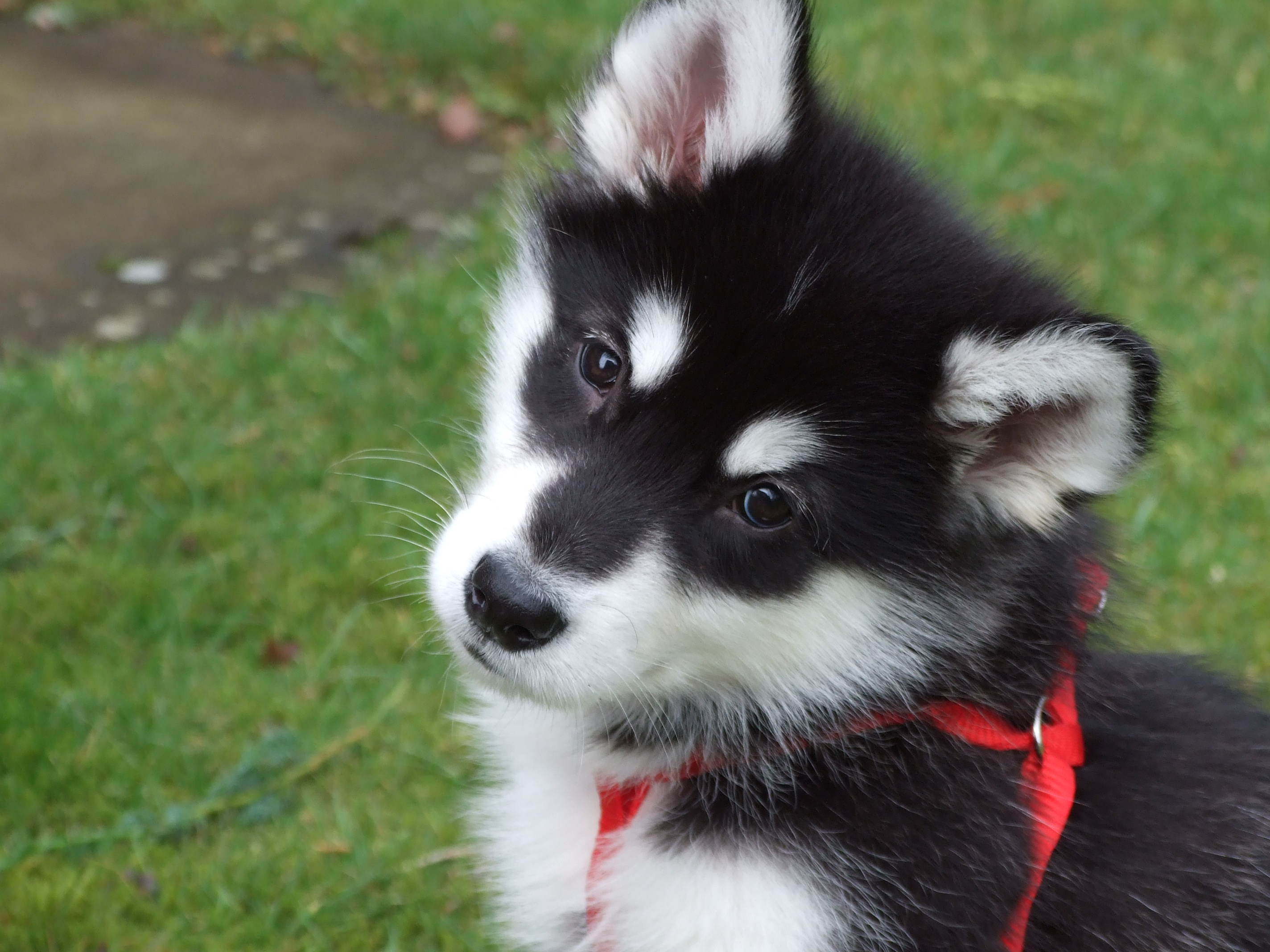 Alaskan malamute puppies photos