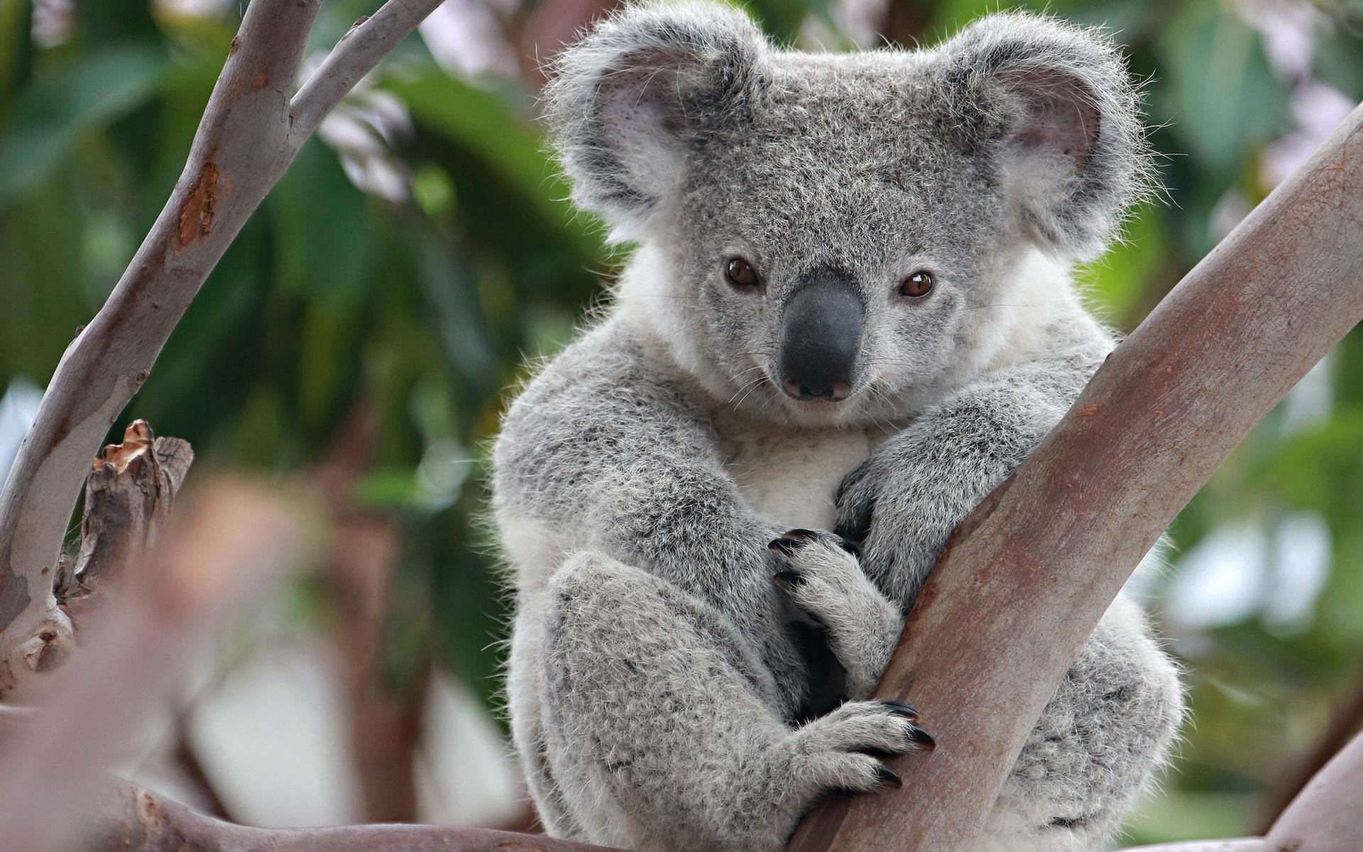 Tiere - Koala Wallpaper