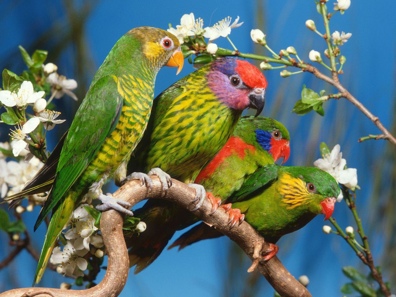 Four Colorful Birds On A Branch Wallpaper 1280960   Birds Wallpapers 1280x960
