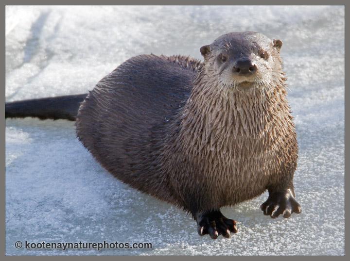 River Otter Kootenay Nature Photos 720x538