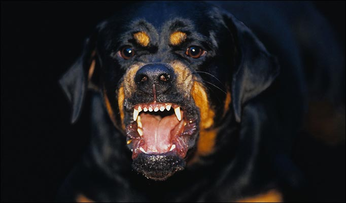 Big Rottweiler Attack Dog 67 682x400