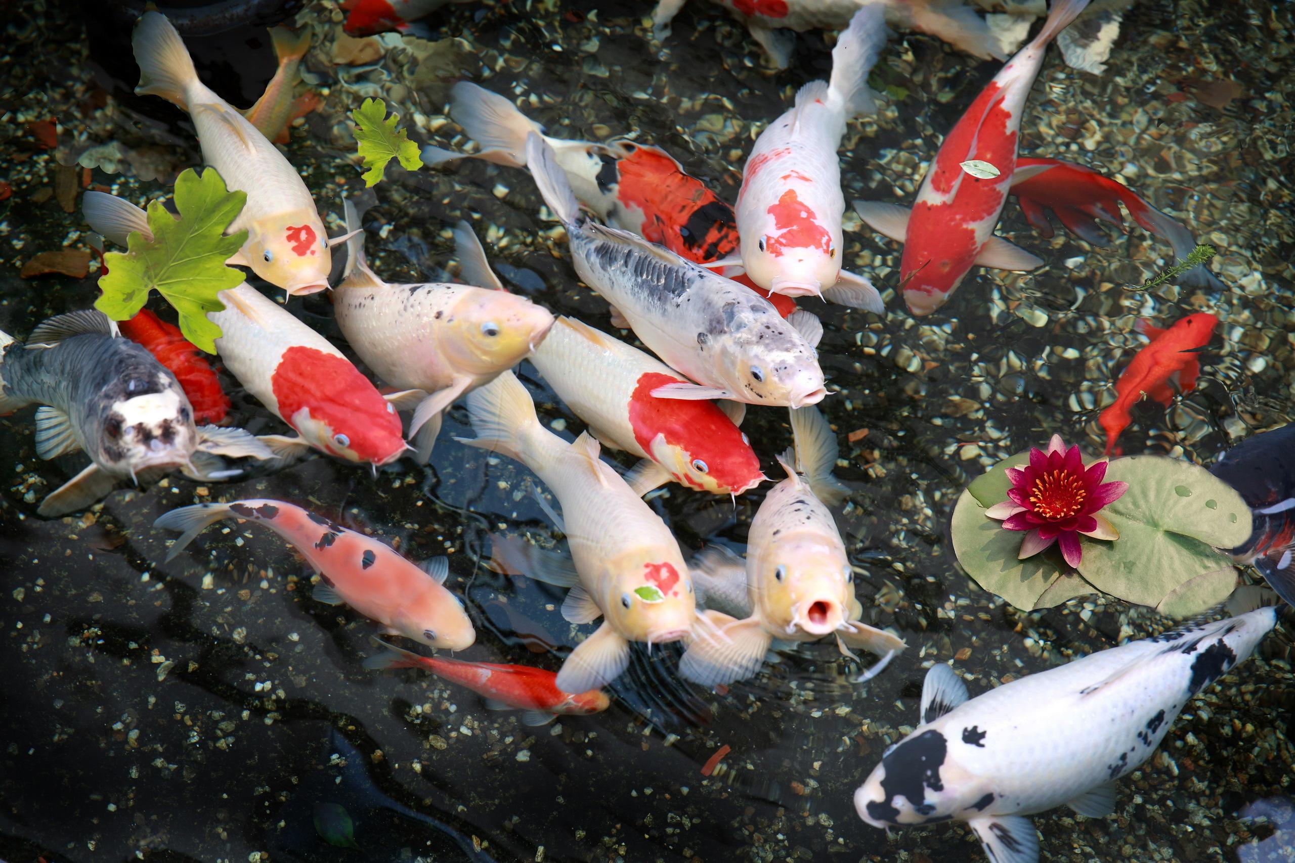 Koi pond wallpaper wallpapersafari for Koi carp pond