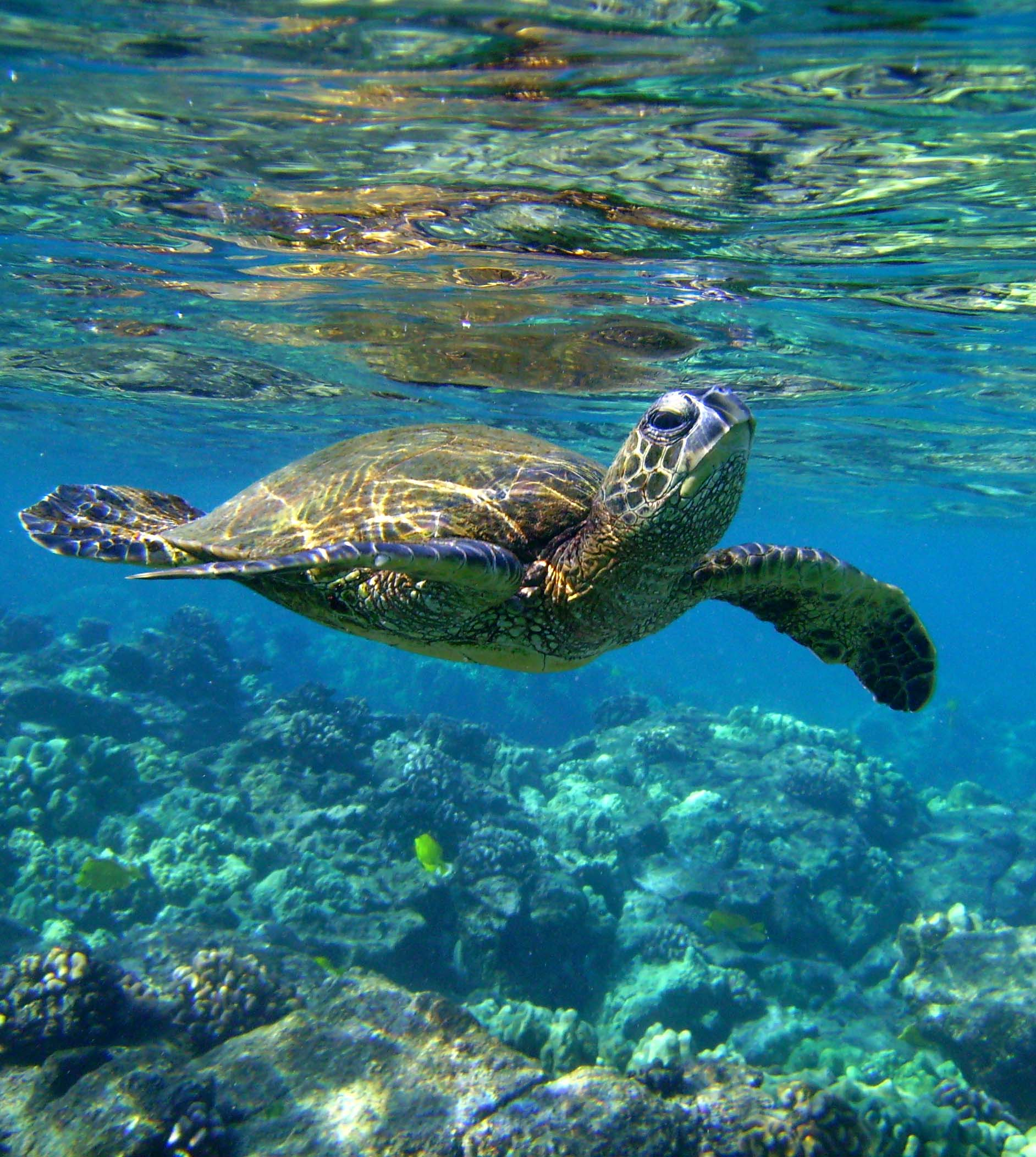 Sea Turtle Background Wallpaper