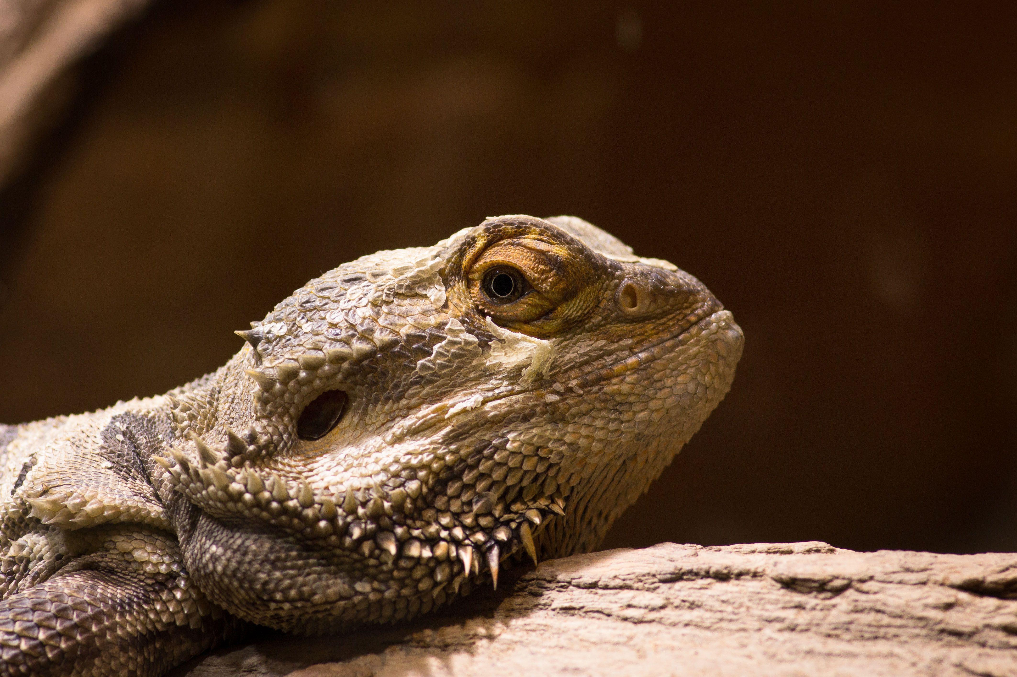 bearded lizard dragon - HD4250×2833