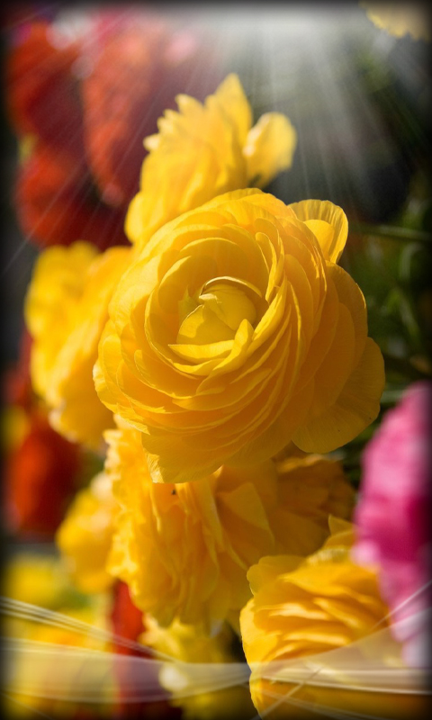 Download Roses Live Wallpaper Flowers for your Android phone 480x800