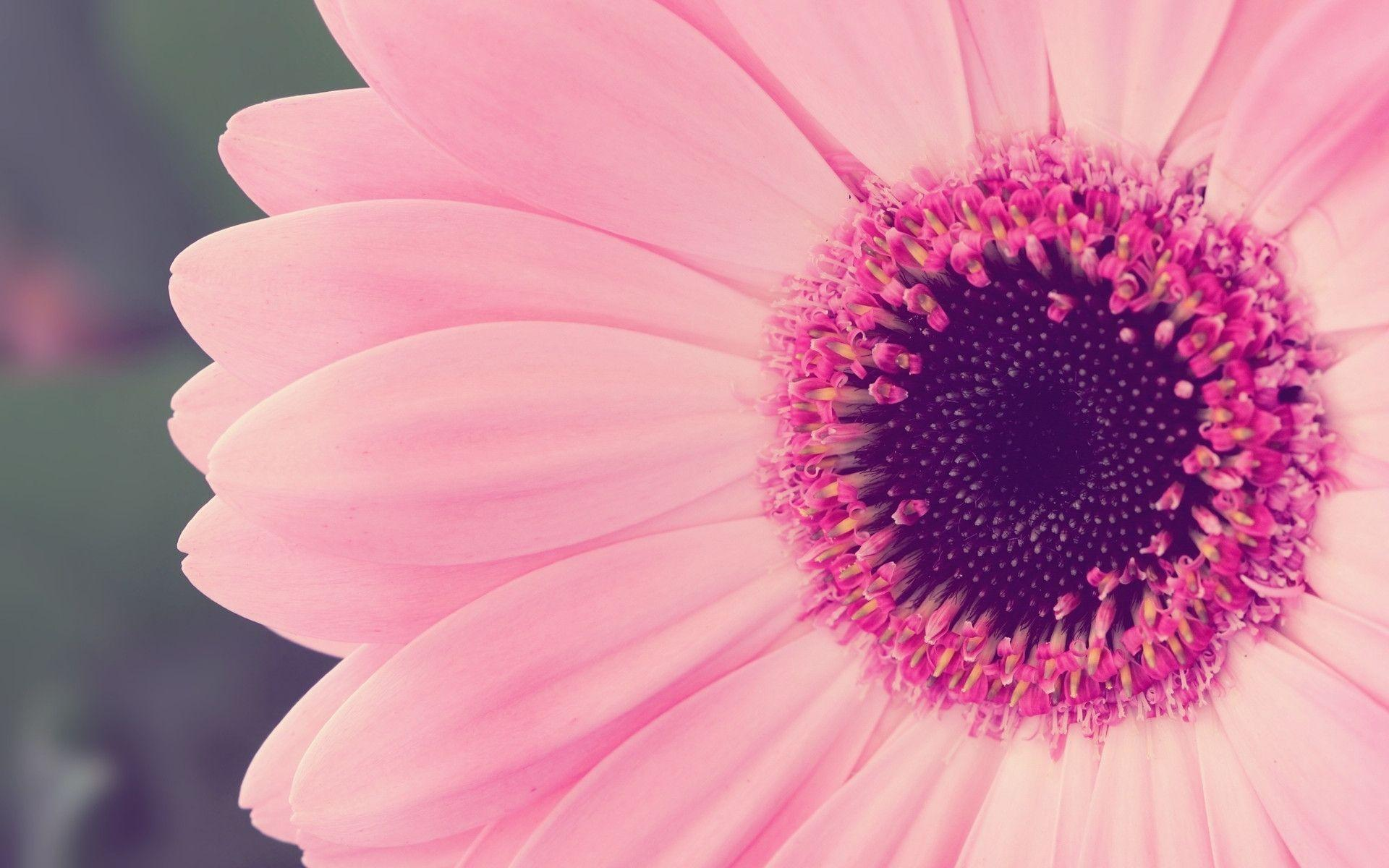 Pink Flower Desktop Wallpapers 1920x1200
