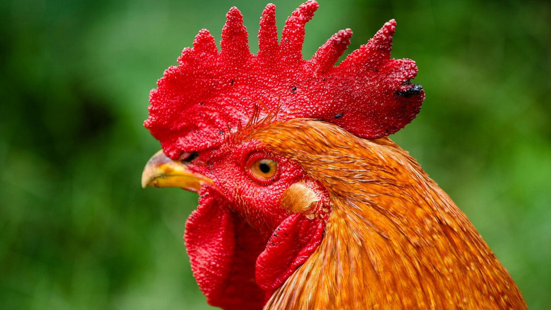Rooster Full HD Wallpaper and Background 1920x1080 ID 1920x1080