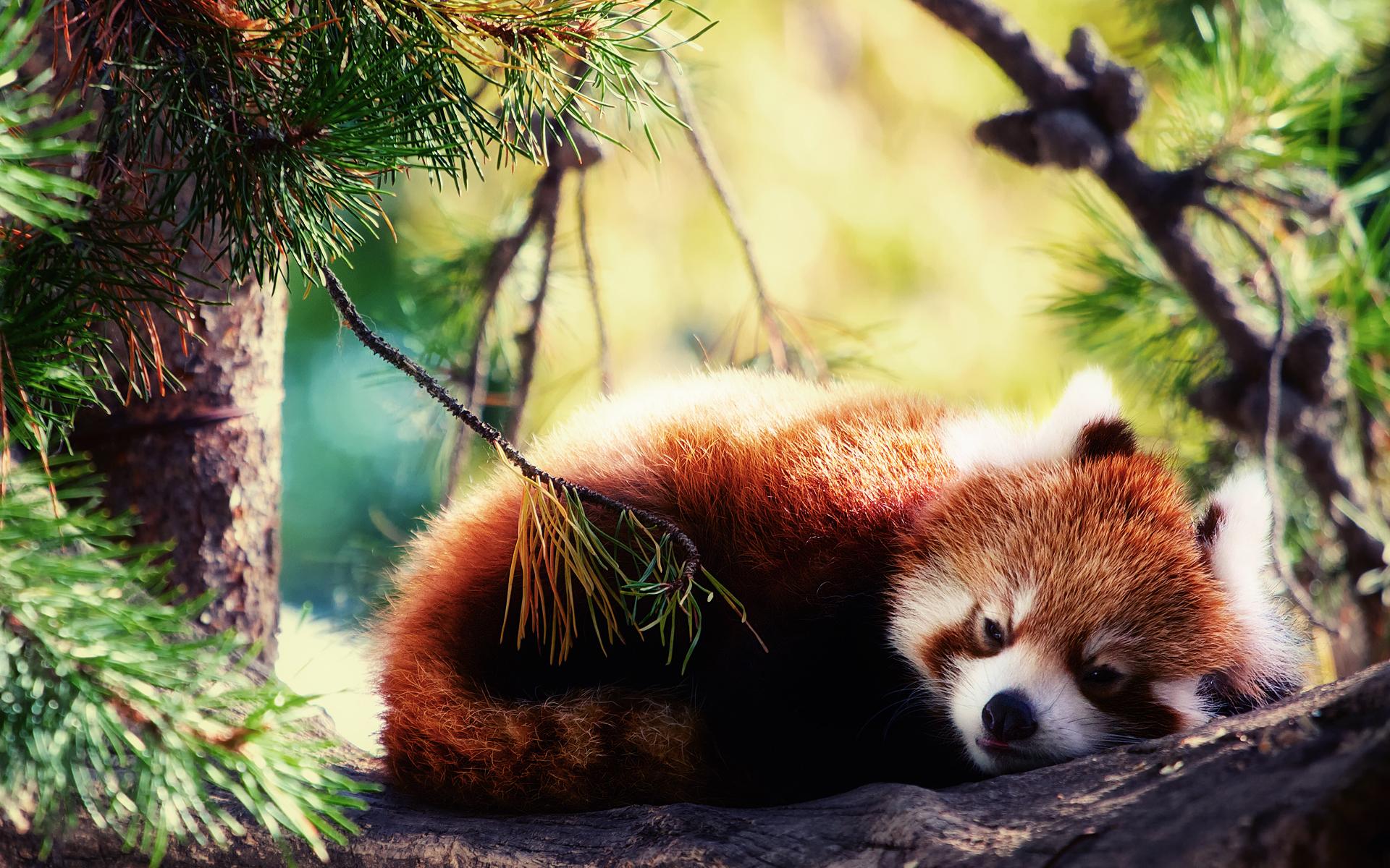 Sad Panda HD Desktop Wallpaper HD Desktop Wallpaper 1920x1200