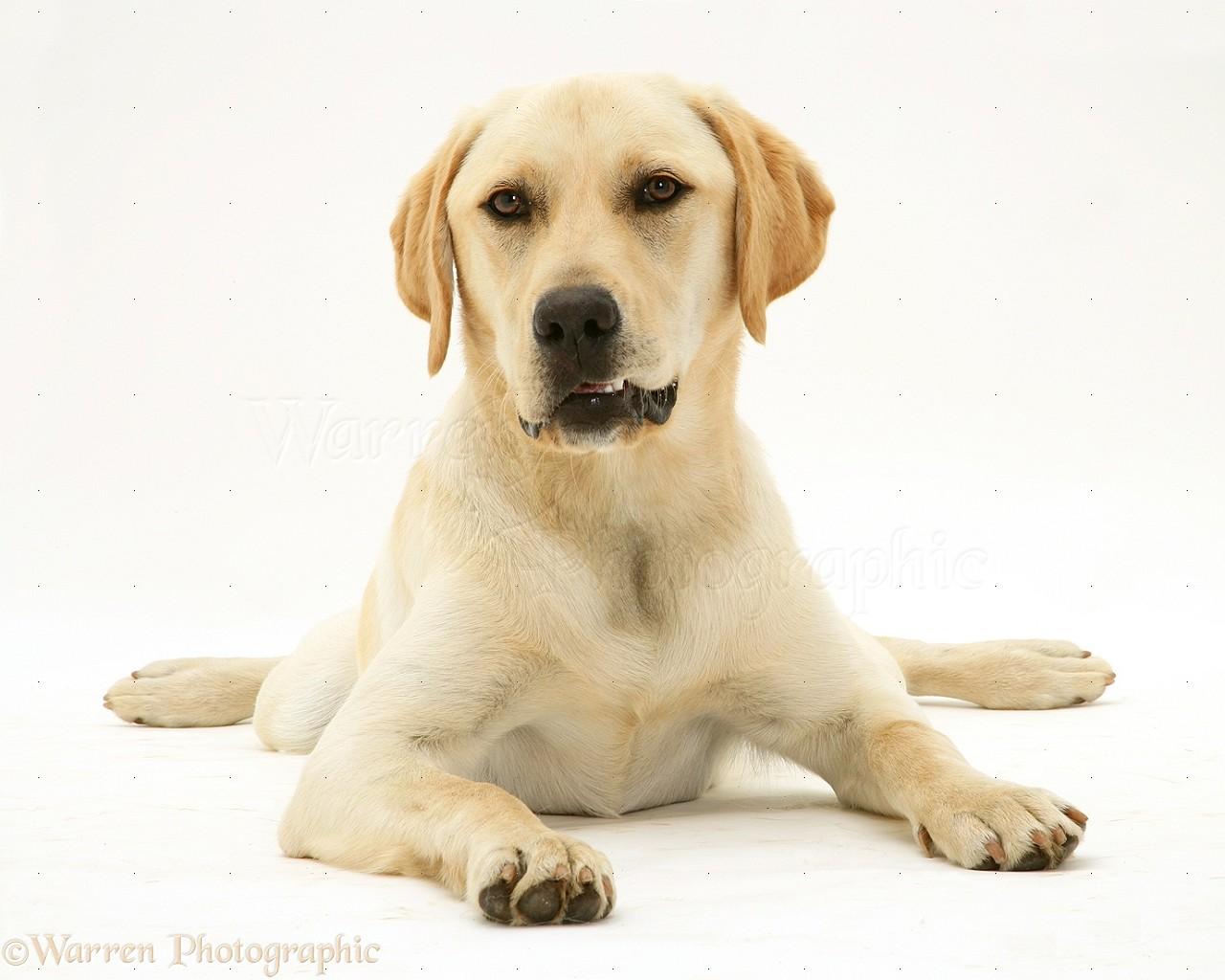 yellow lab puppy wallpaper - photo #26