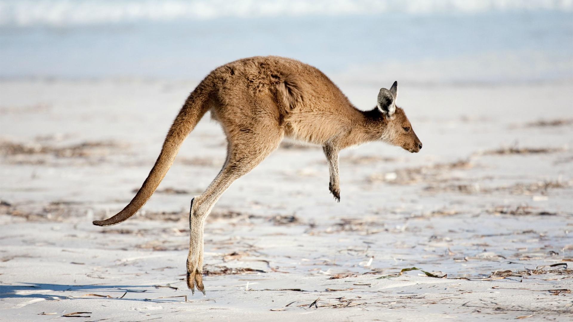 Секс с кенгуру онлайн, Кенгуру секс. Смотреть на сайте online 13 фотография