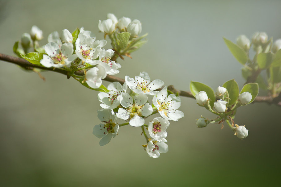 Apple blossom Wallpaper   ForWallpapercom 909x606