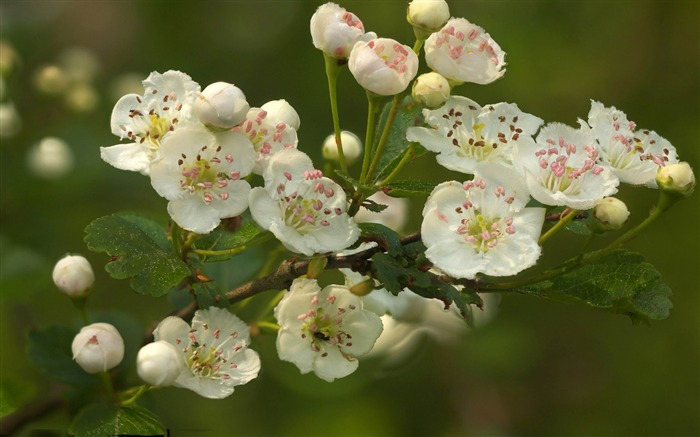 branch flowers spring theme Desktop wallpaper 700x437
