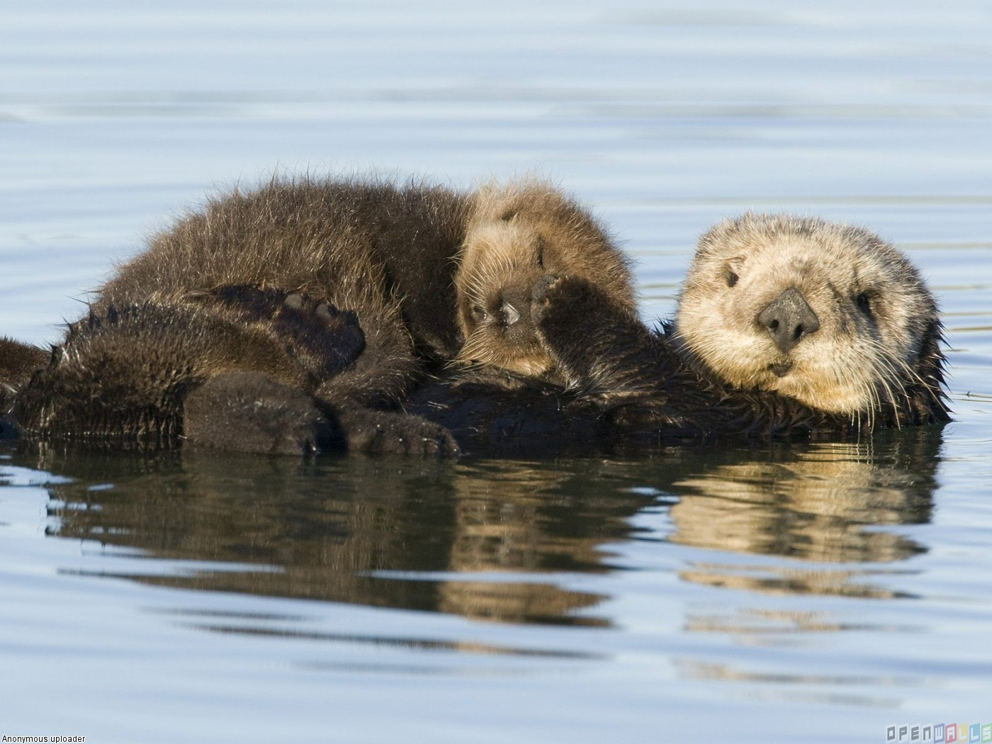 Sea otter mother and pup monterey bay california wallpaper 14028 1400x1050