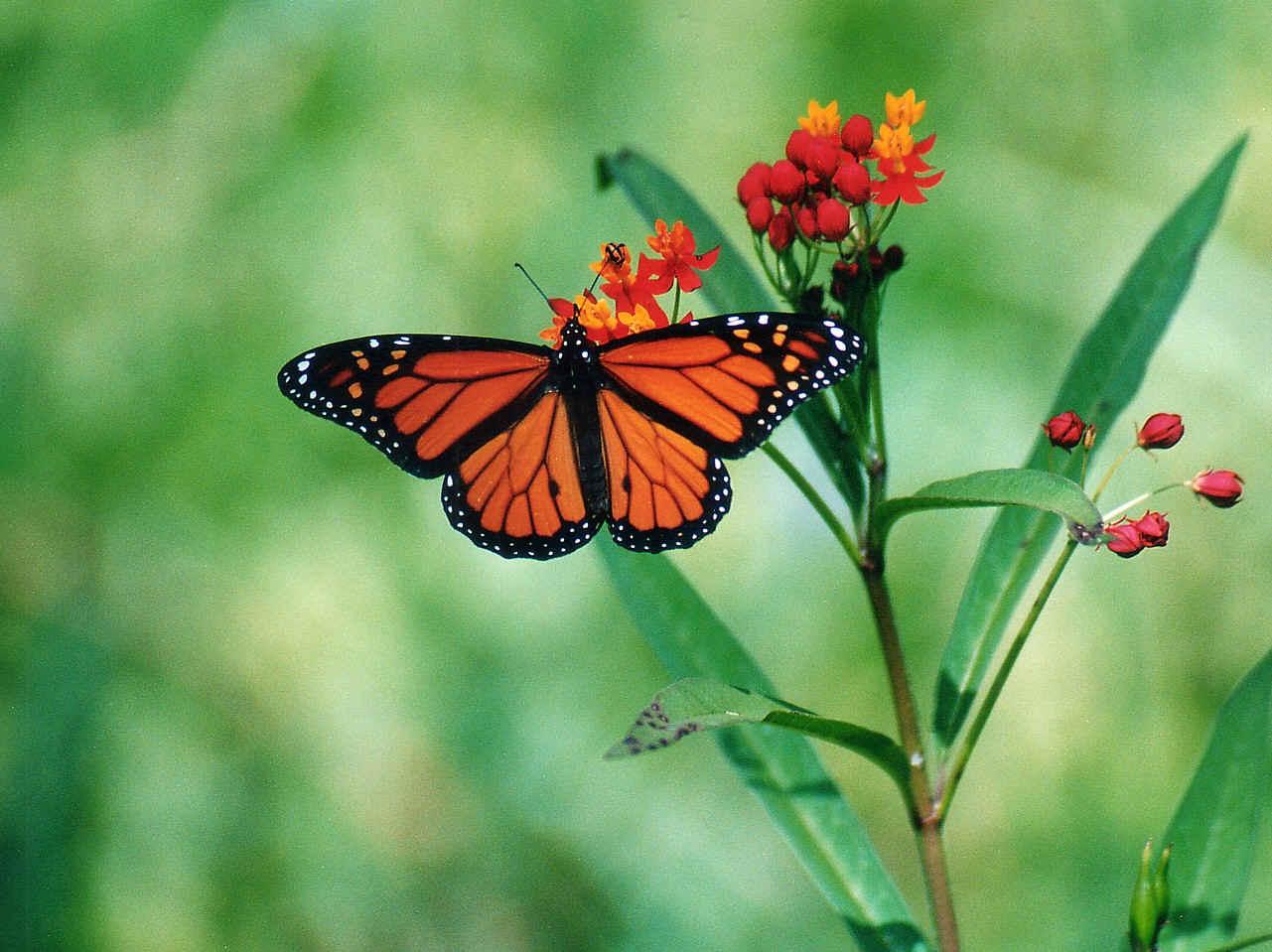 Beautiful Wallpapers For Desktop Beautiful HD Butterfly wallpapers 1281x959