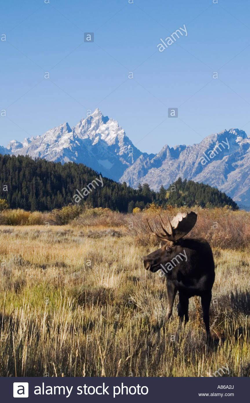 Moose Alces alces bull with teton range in background Grand Teton 863x1390