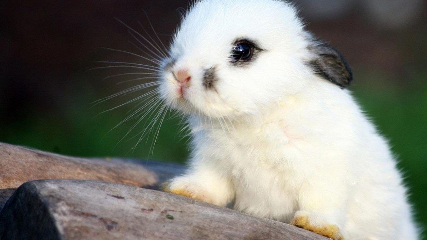 Free Download Cute Bunny Wallpapers 1366x768 For Your