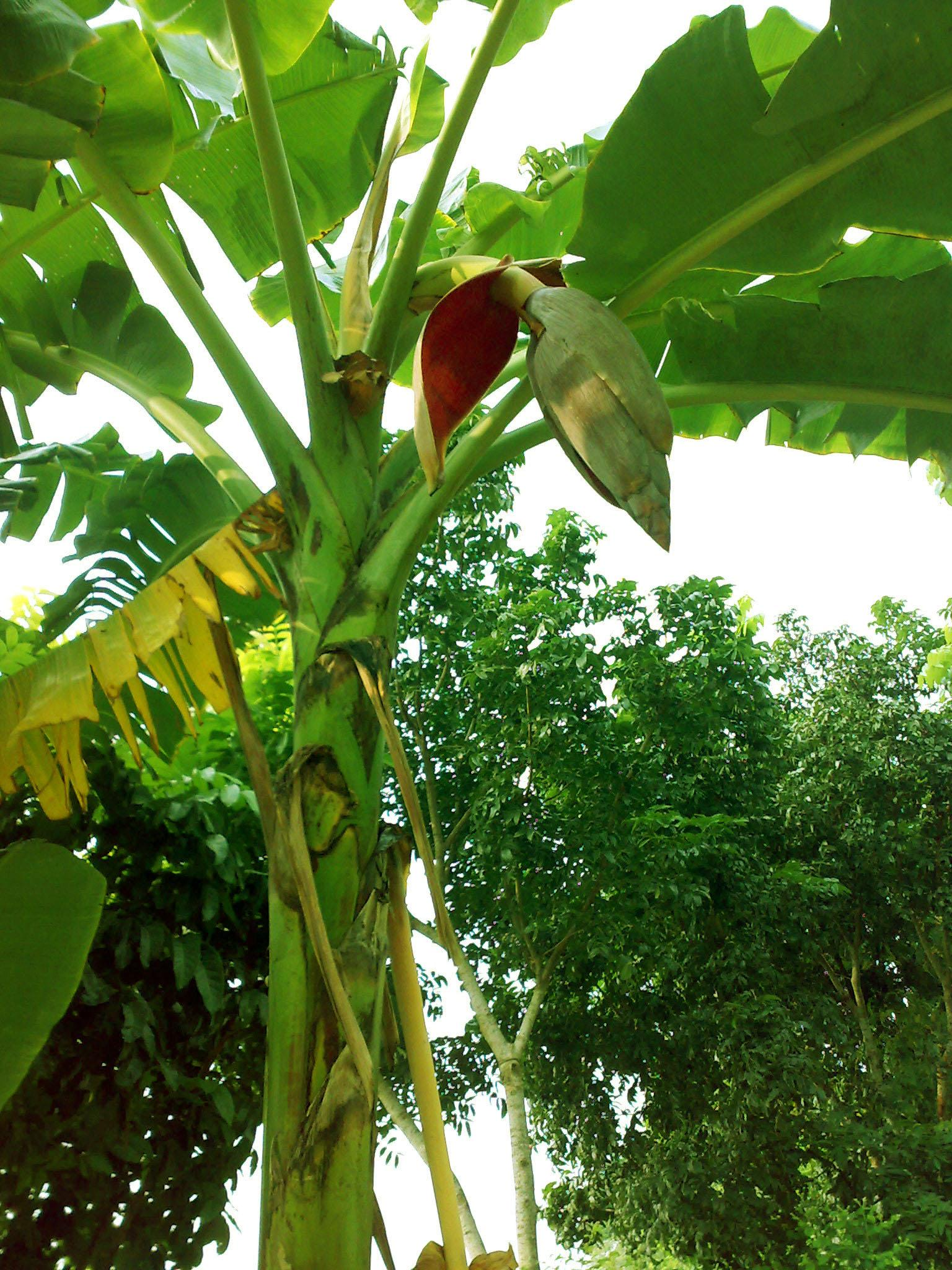FileBanana Tree 3jpg   Wikimedia Commons 1536x2048