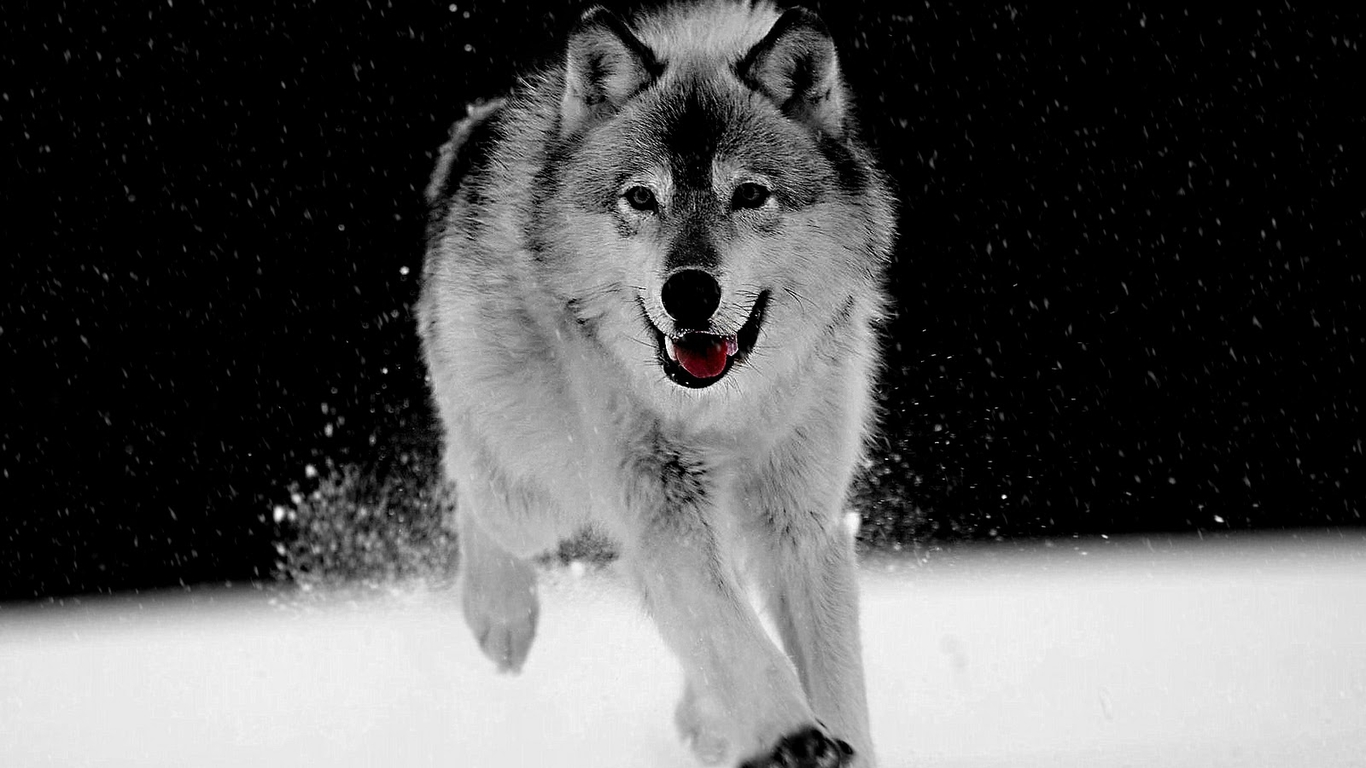 Free Download Black And White Wolf 17 Desktop Wallpaper