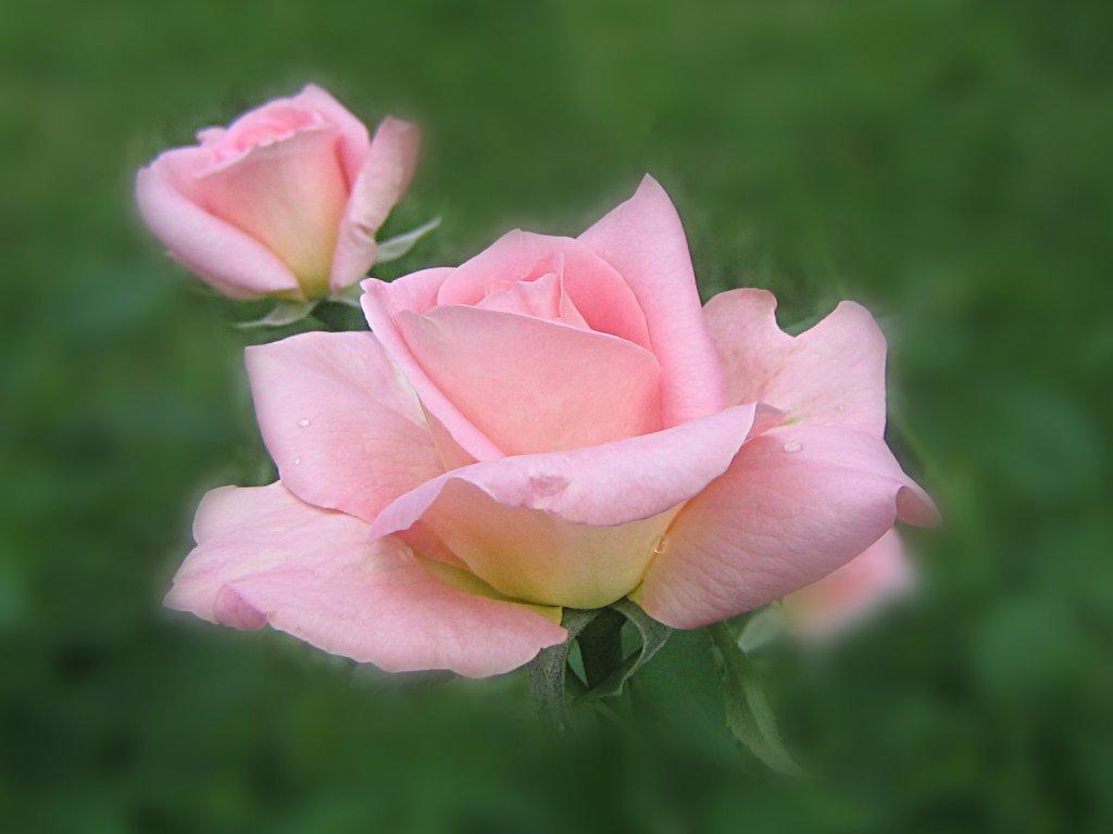 Beautiful Pink Roses Wallpapers 1024x768