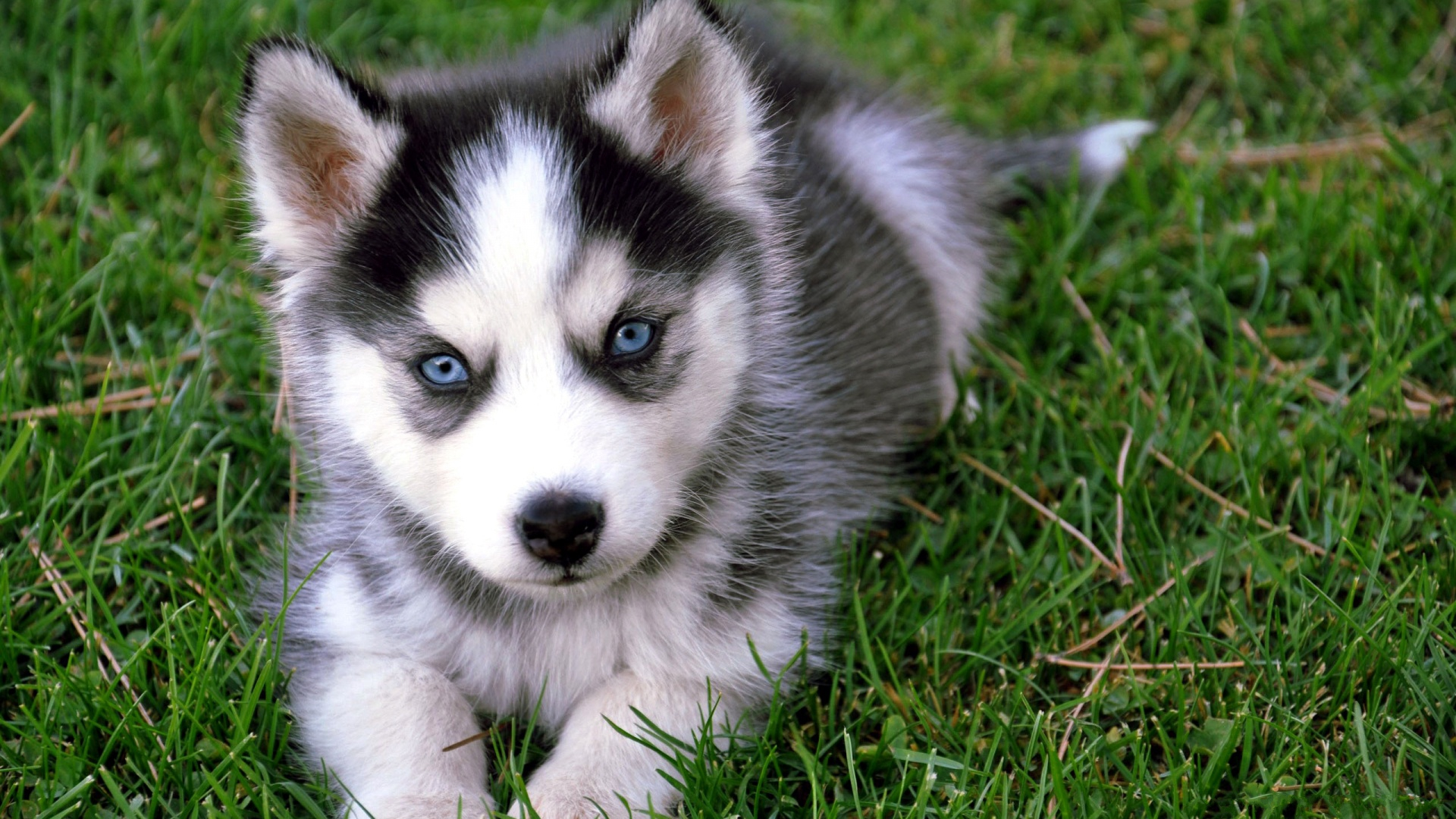Cute Puppy HD Wallpapers 1920x1080
