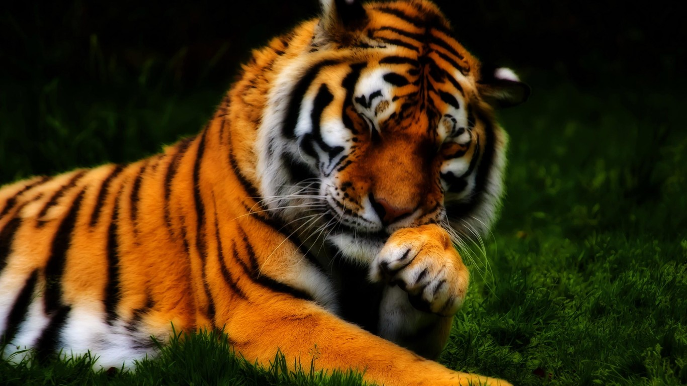 Beautiful tiger   a shy wild animal 1366x768
