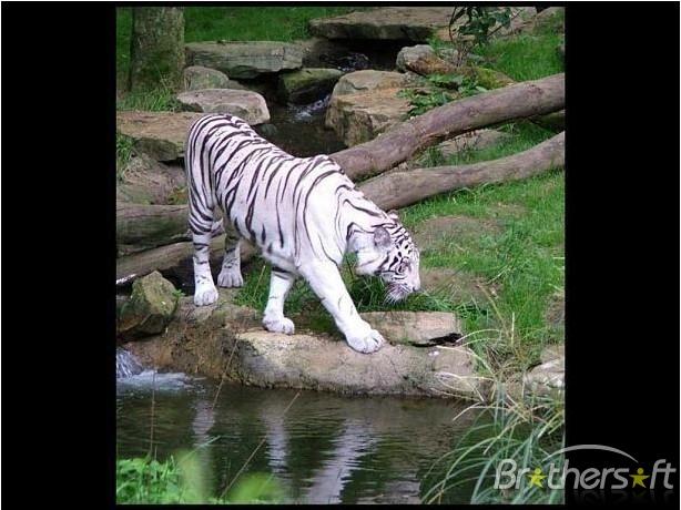 Download Tiger Screensaver Tiger Screensaver 30 Download 614x460