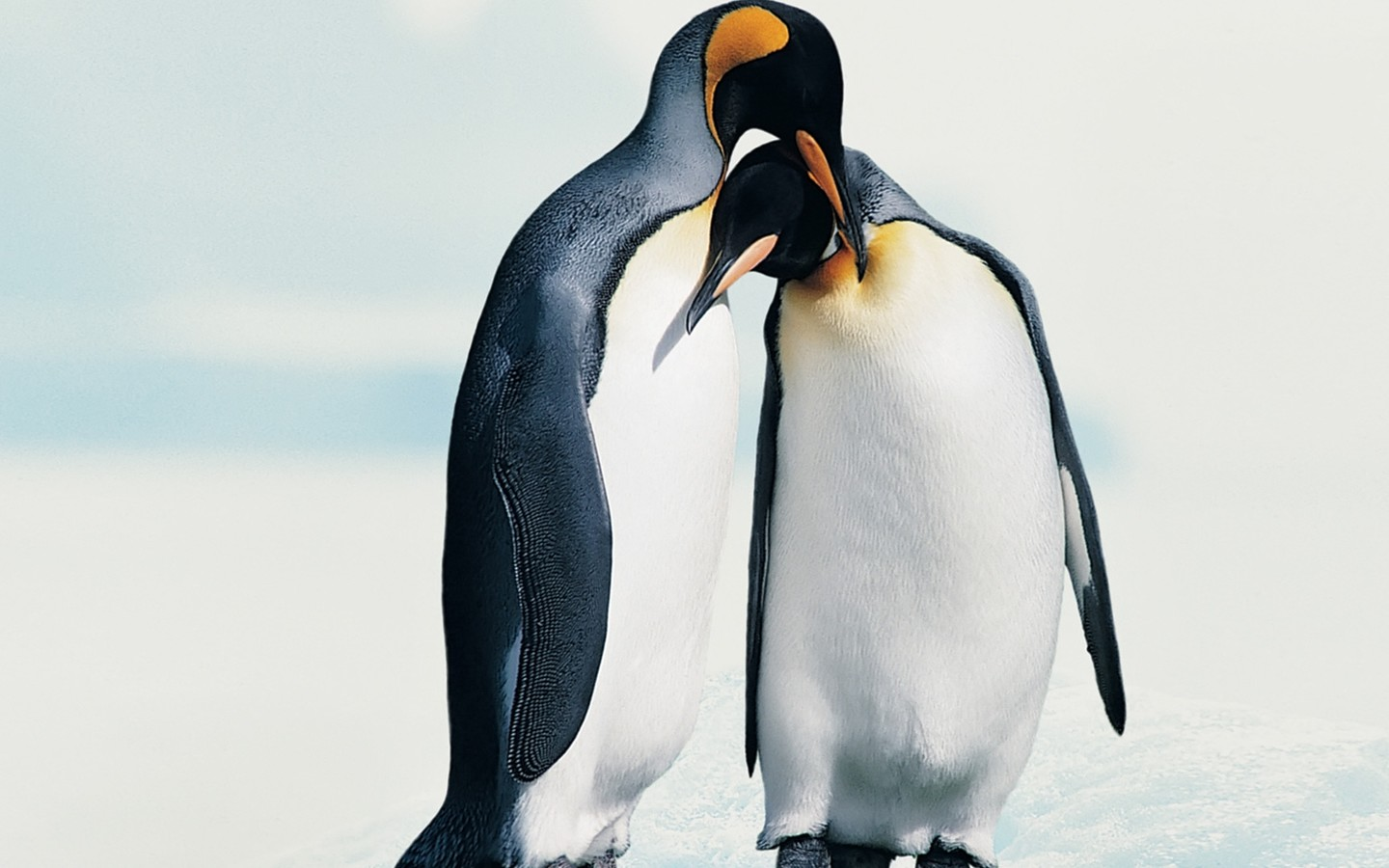 Penguins in love   Animal couple wallpaper 1440x900