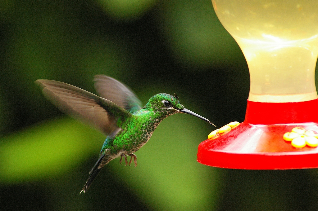 of Desktop Wallpapers Humming Bird feeding honey desktop wallpapers 1024x681