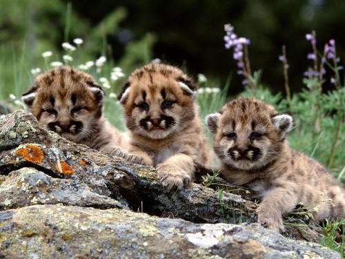 Mountain Lion Cubs Screensaver Screensavers   Download Mountain 500x375