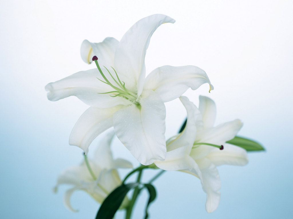 Lily FLower Wallpaper 1024x768
