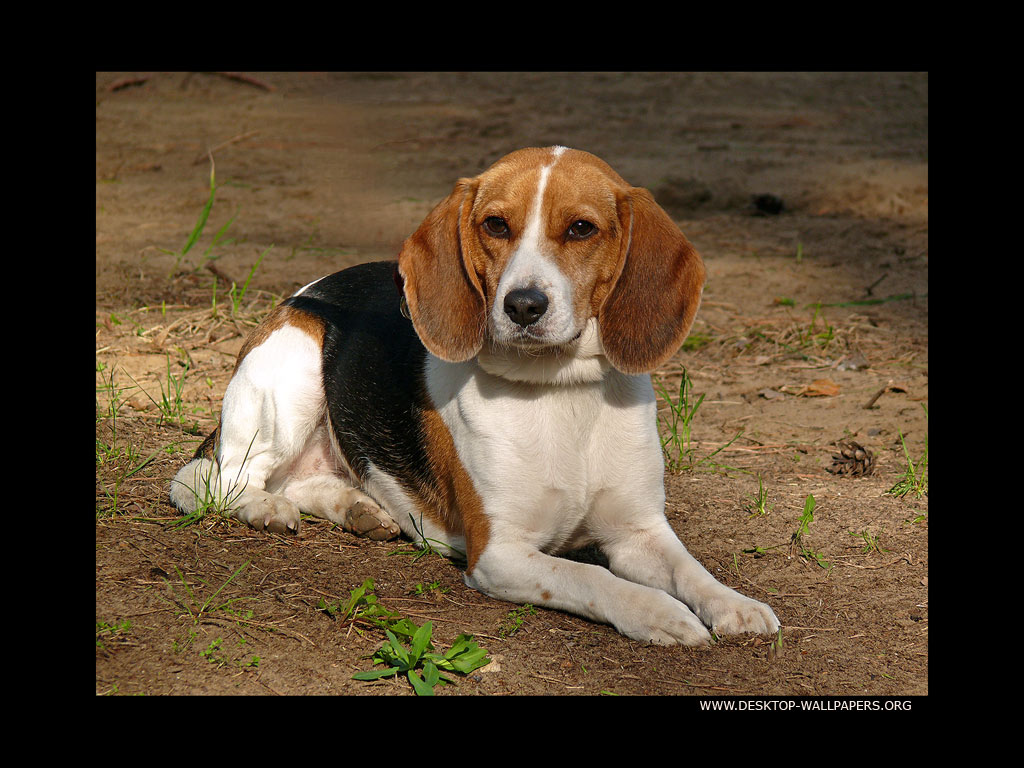 beagle dogs wallpapers beagle dogs wallpapers beagle dogs wallpapers 1024x768