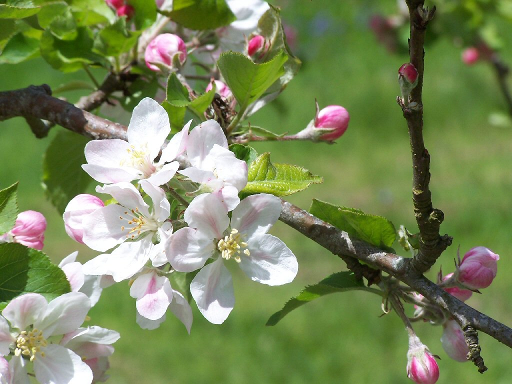 Apple Blossom Wallpapers Wallpaper Bonzy 1024x768