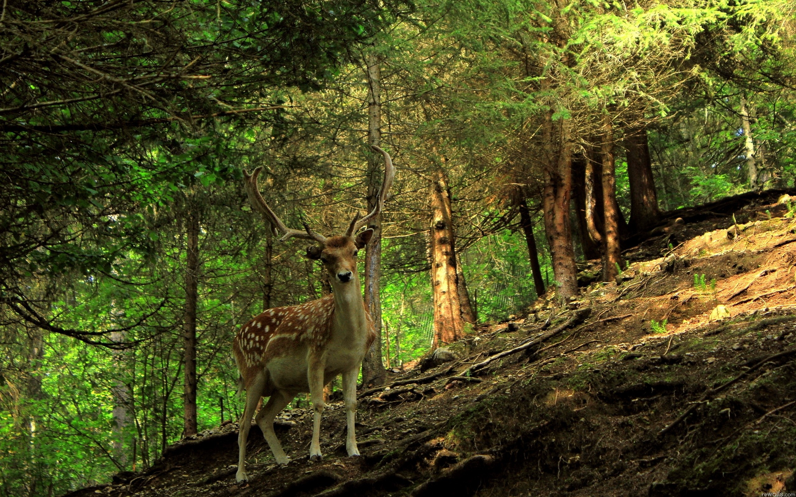 Forest Animal Wallpaper Wallpapersafari