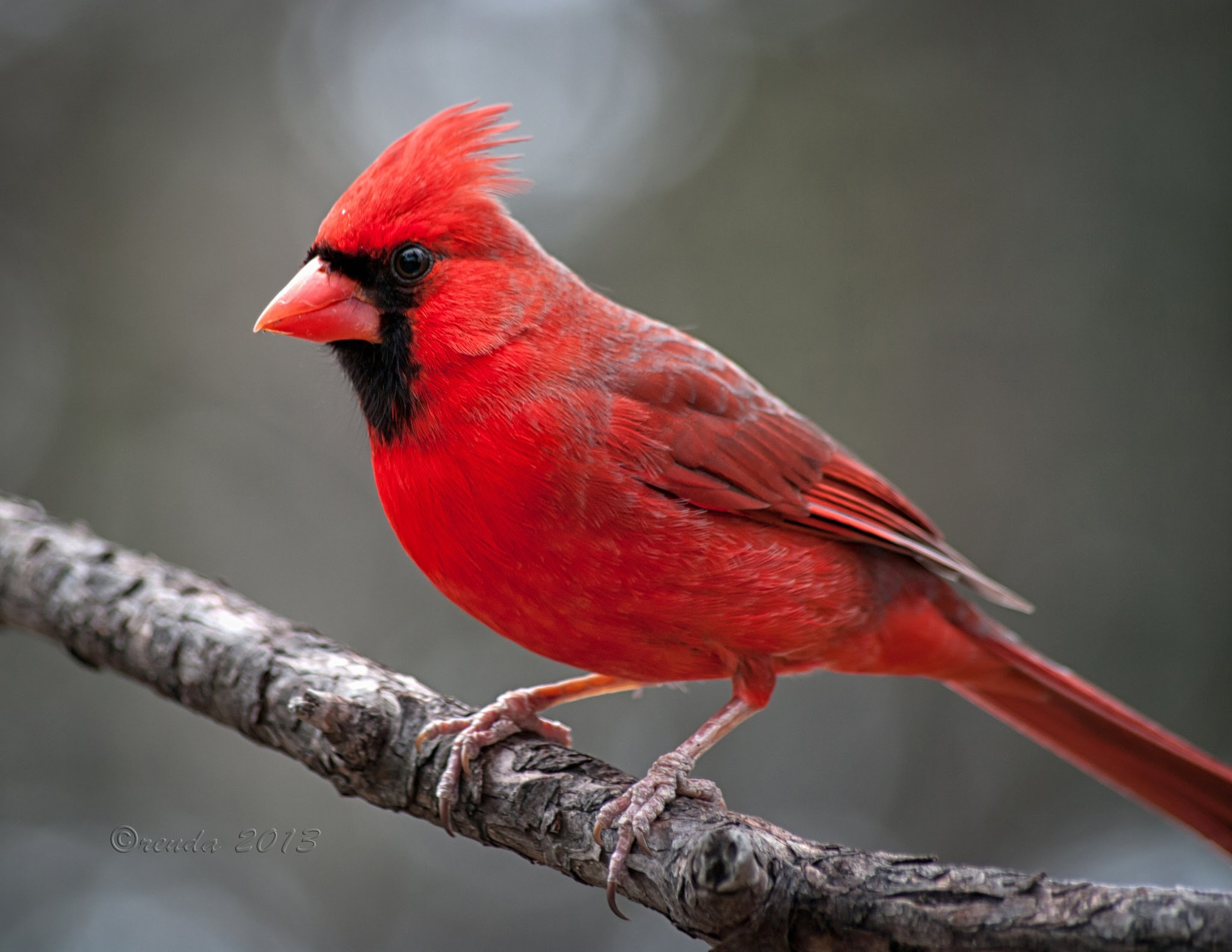 Northern Cardinal Birds Wallpapers Creative Northern 2048x1583