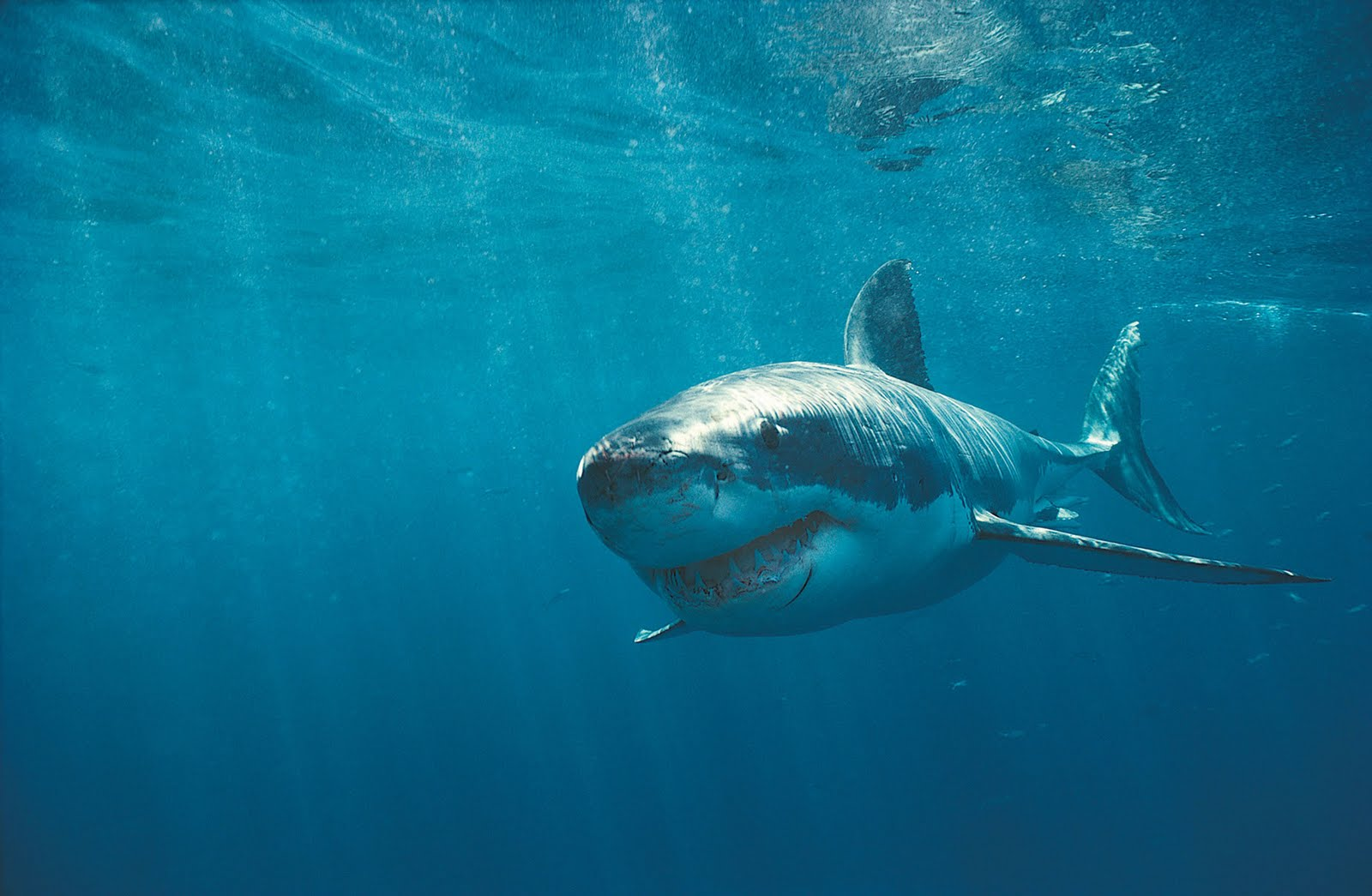 Wallpapers Box The Great White Shark Hi Def Wallpapers 1600x1045