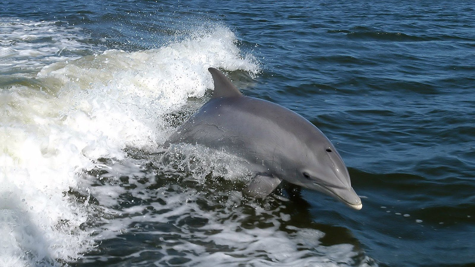 HD animal wallpaper with a fast swimming dolphin HD dolphins 1600x900