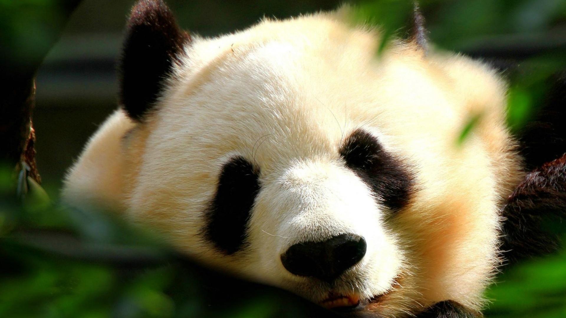 Cute Panda Wallpaper 15783 1920x1080 px HDWallSourcecom 1920x1080