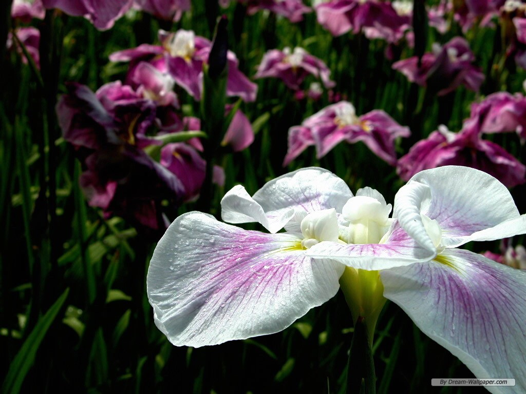wallpapercomflower wallpaperiris flower wallpaper1024x768free 1024x768