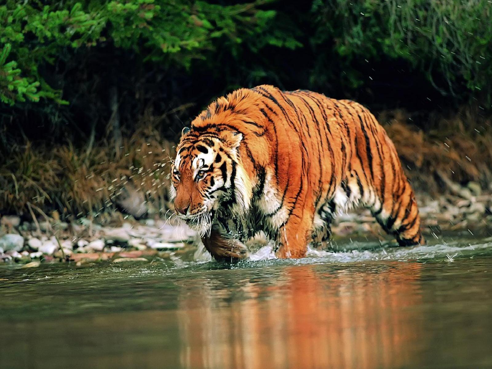 Siberian Tiger Apple Windows Wallpaper Wallpaper Tiger 920 high 1600x1200