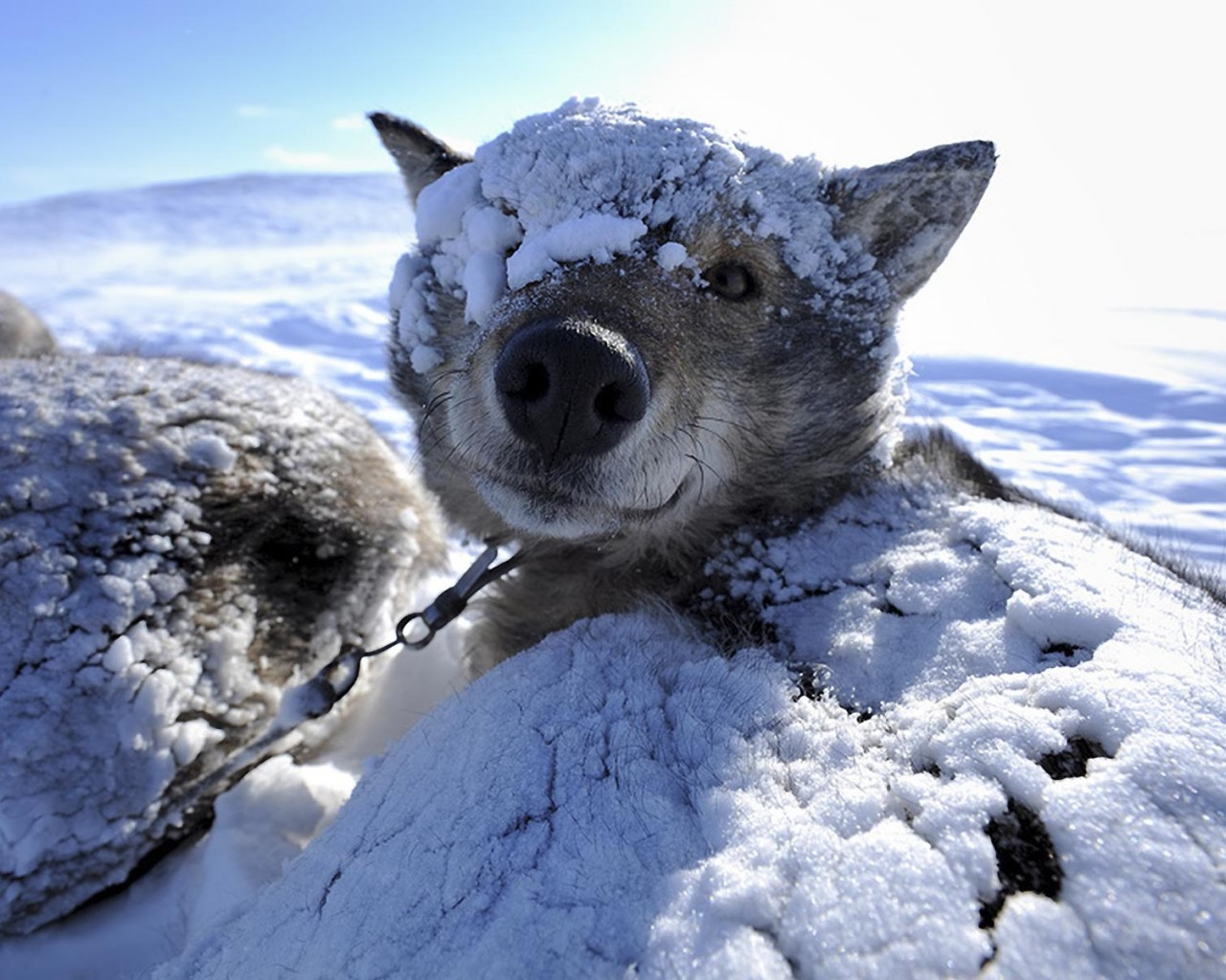Dog In The Snow Windows 8 Wallpaper HD 1280x1024