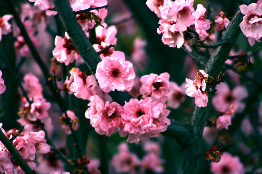 apple blossom wallpaper by crazychance89 on deviantart 900x600