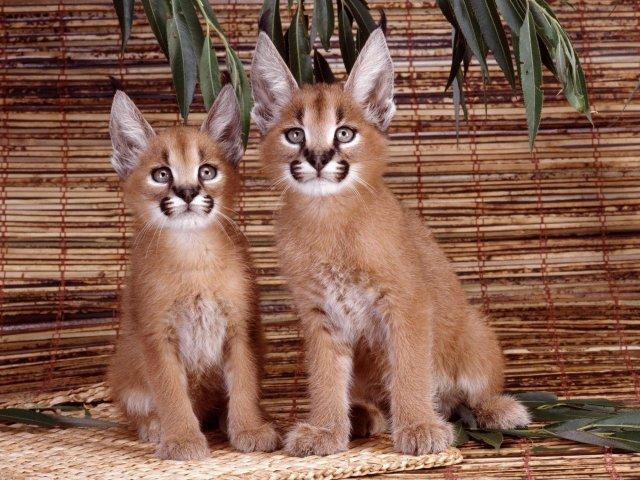 Florida Panther Cubs desktop wallpaper 640x480