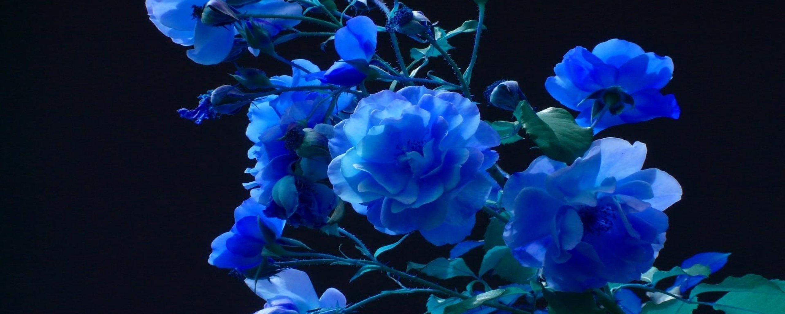Related Pictures rose buds garden blue black background wallpapers 2560x1024