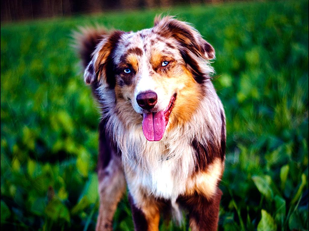 Pics Photos   Australian Shepherd Dog Wallpaper Australian 1024x768